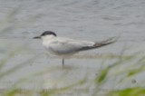 gull-billed tern bill forward plum island