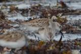 western sandpiper lynn/nahant beach