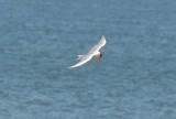 caspian tern ebird record shot plum island