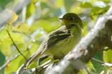 yellow bellied flycatcher plum island