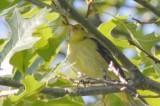 hy yr male scarlet tanager plum island