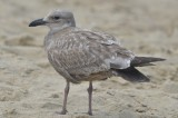 interesting gull looks like it might have GWGU in it, very muted and gray back feathers coming in, solid tail 1st encounterbeach