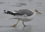 Mew (kamchatka?) Gull Kings Beach Lynn