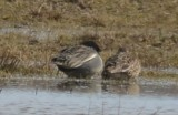 Eurasian X Green-winged Teal wolf hollow fields