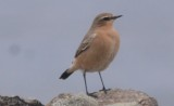 northern wheatear Wachusett Reservoir, Gate 36