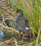Purple Gallinule Chauncy Lake Westborough, MA