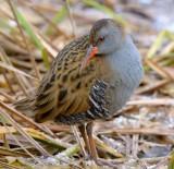 LOTHIAN BIRDS 2015