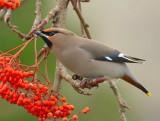 LOTHIAN BIRDS 2017