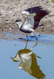 Spur-winged Lapwing playing in the mud