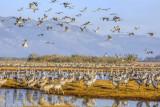Cranes across the sky