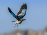 Blue Roller in flight