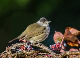 Black Cap Warbler