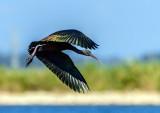 The shining ibis