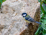 A great tit on a fossiled trunk
