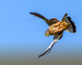 A diving kestrel