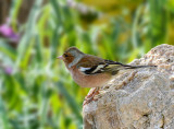 Chaffinch (male) II