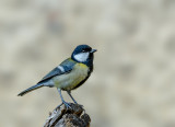 (Little) Great Tit