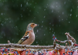 Chaffinch (male) in the rain