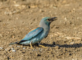 The Blue Roller