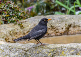Common Blackbird II
