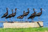 The ibis parade