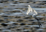Spoonbill at high velocity