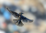 Starling kite