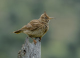 Crested lark with deformed bill