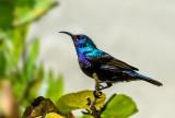 Sunbird (male)