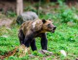 Carpathian Bears (slash) Romania