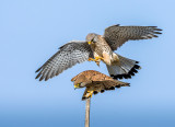 The Common Kestrel - Israel