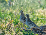 Stone Curlew & Spouse