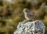 Little Owl II