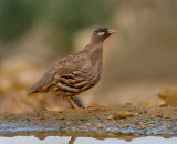 Sand Partridge (male)