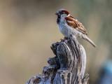 Thw Sparrow
