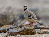 Partridge in the Negev Desert