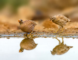 Sand Partridge - Negev