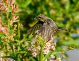 Sunbird (fem)