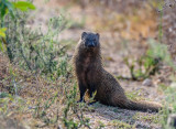 Mongoose in First Light