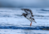 Turnstone out of the Waves