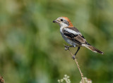 Red Head Shrike