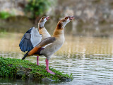 Egyptian Goose Crying to the Moon