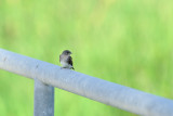 Northern Rough Wing Swallow