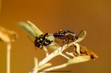 Harlequin Beetle