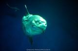 California Sunfish