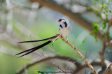 Pin Tailed Whydah