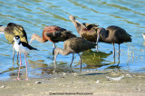 White Face  & Glossy Ibis
