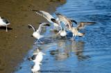 Sea Gull Battle