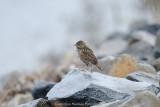 Savanah Sparrow