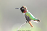 Anne's Hummingbird